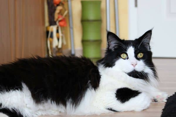 A Black and White Maine Coon.