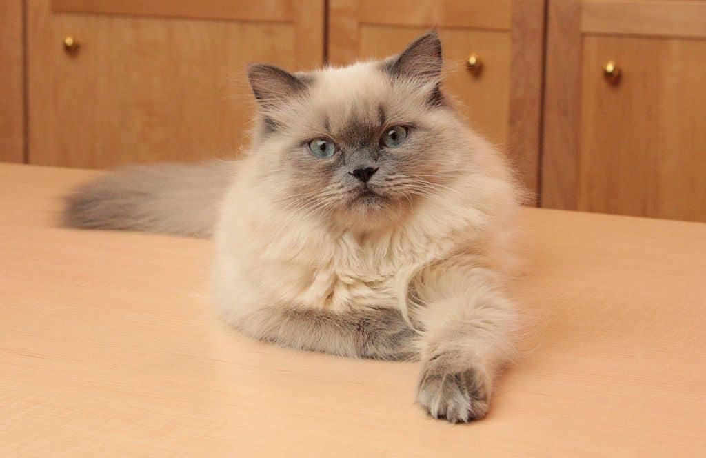 Can Maine Coons Be Small?  blue point Himalayan-Persian cat