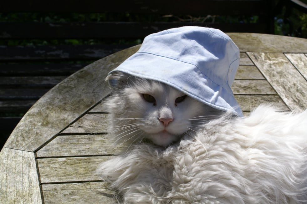 Can a Maine Coon Have Short Hair? Cat in a hat