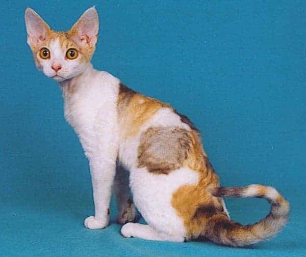 Can Maine Coons Be Small? Devon Rex