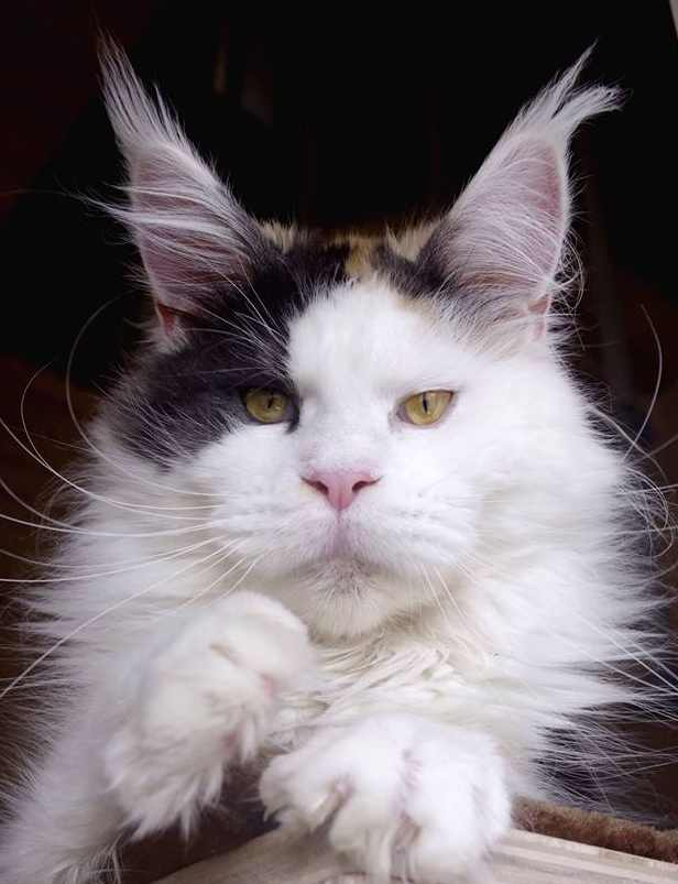 A mostly white Maine Coon with long ear tufts.