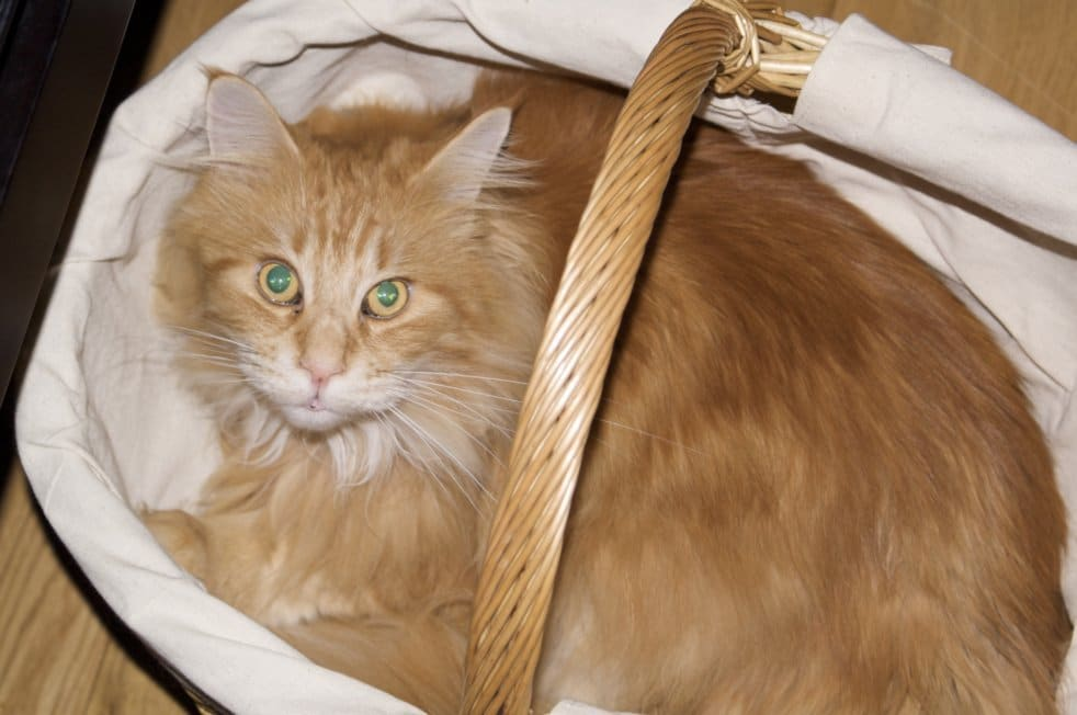 Are Maine Coon Cats Lap Cats? Cat in shopping basket