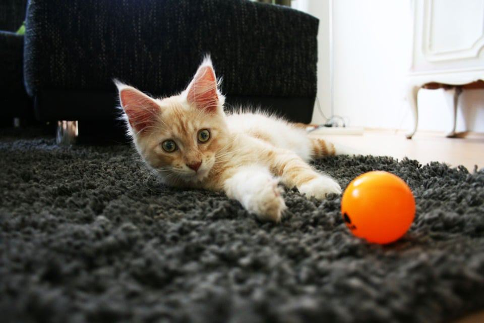 Are Maine Coon Cats Aggressive? Kitten and ball