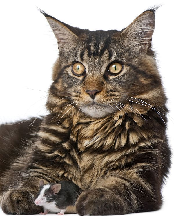 Are Maine Coons protective? Maine Coon and mouse
