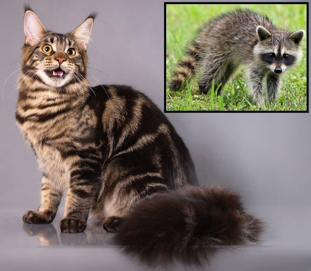 Comparando un Maine Coon y un mapache