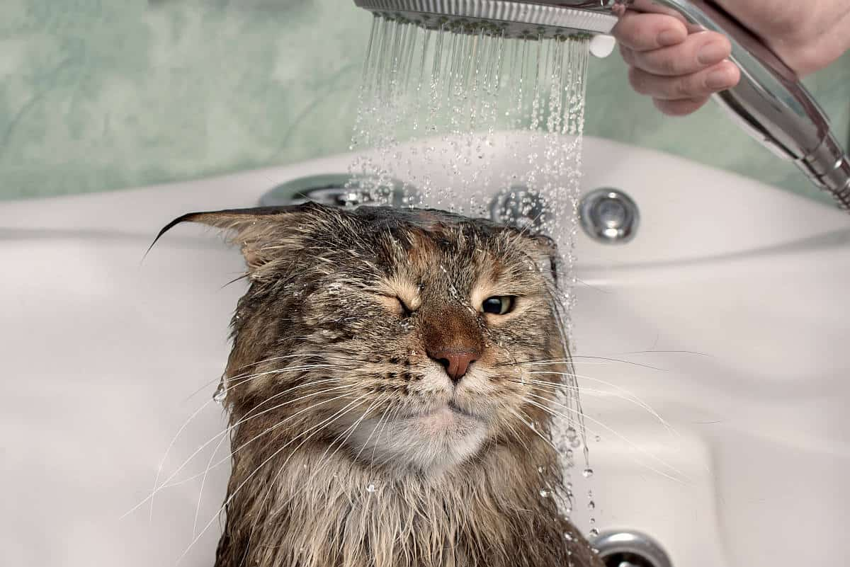 Showering a Maine Coon cat