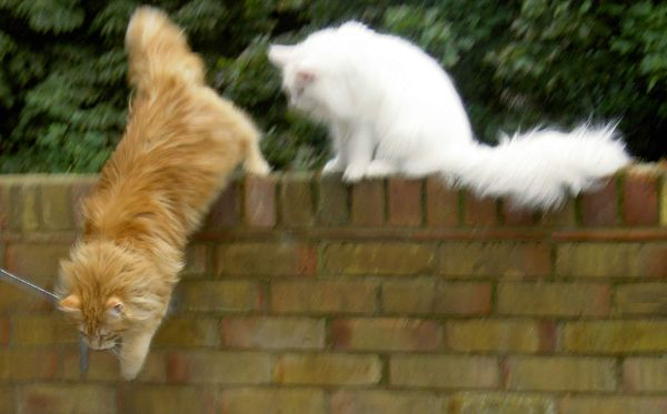 Can Maine Coons jump? Maine Coon jumping down