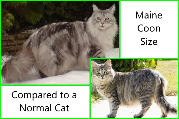 Maine Coon Size Compared To A Normal Cat Pets Kb