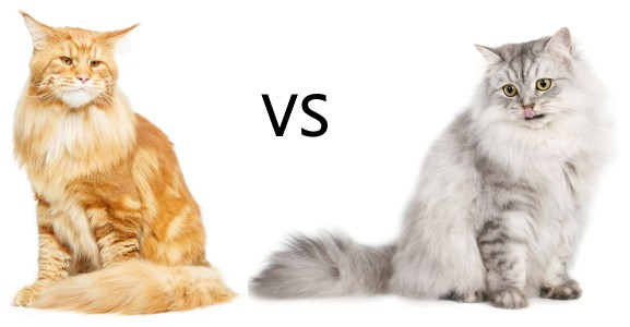 Maine Coon size compared to Siberian cat.