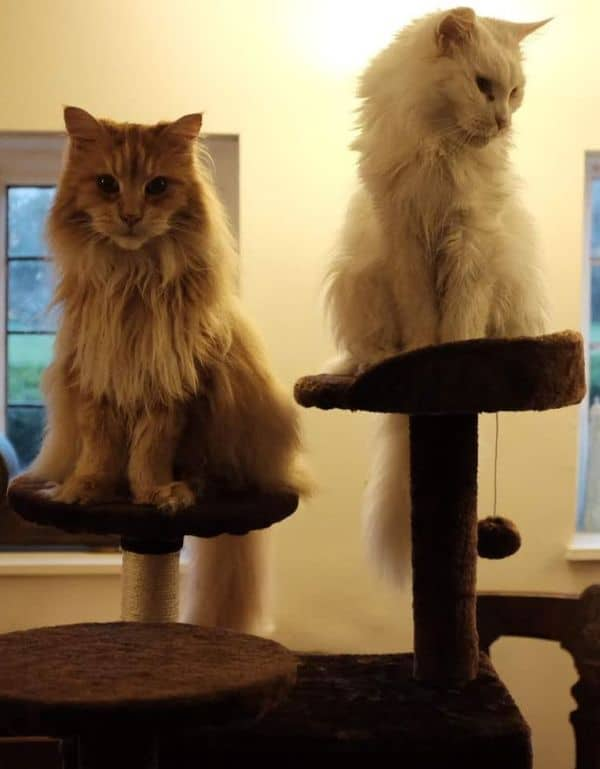 Can Maine Coons jump? Maine Coons in a cat tree
