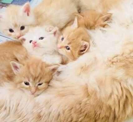 Are Maine Coon Aggressive? Kittens