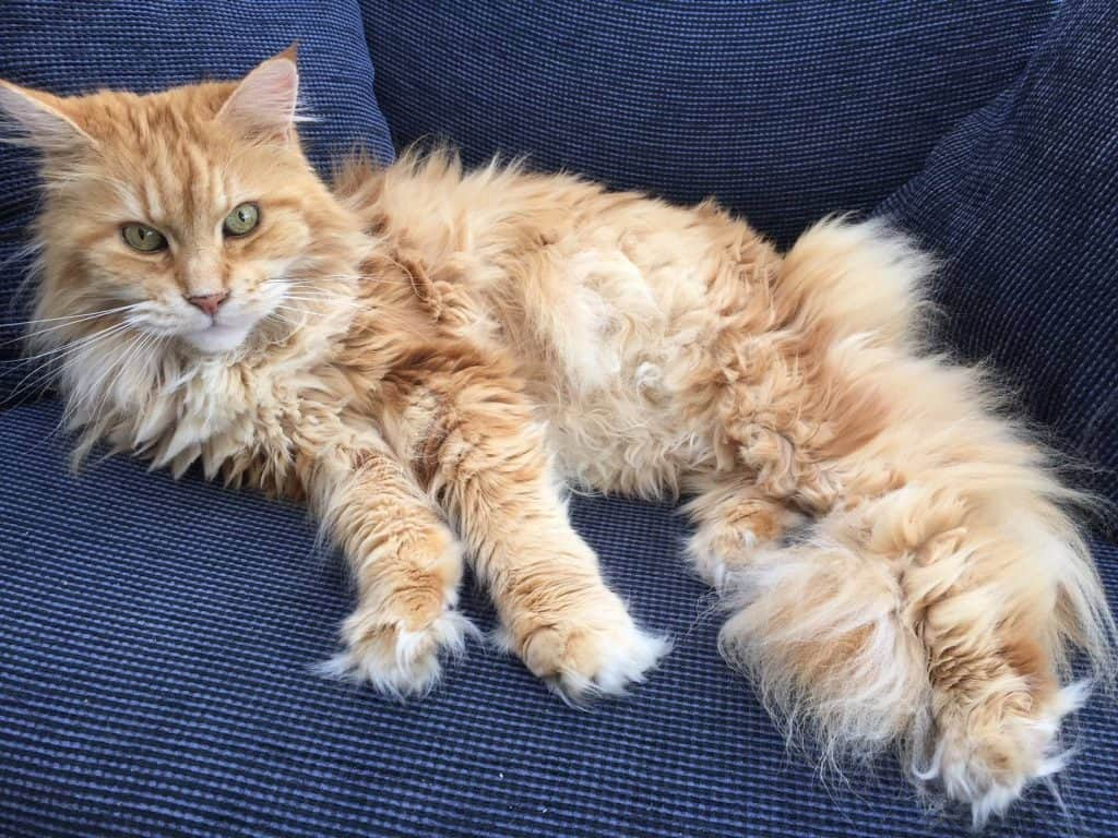 How to stop your Maine Coon scratching your furniture. Mine Coon tufty paws