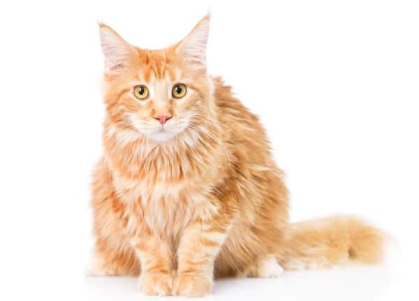 do maine coons have sensitive stomachs