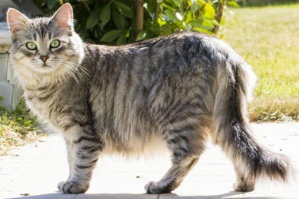Maine Coon size: Silver tabby cat