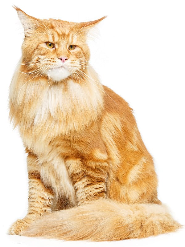 Are Maine Coons protective? Stern Maine Coon