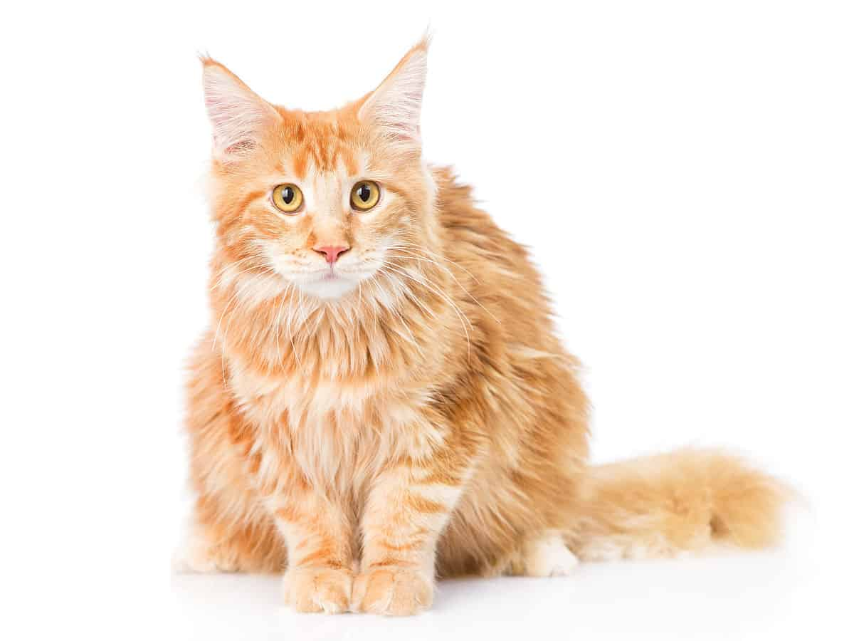 Get rid of fleas on a Maine Coon cat