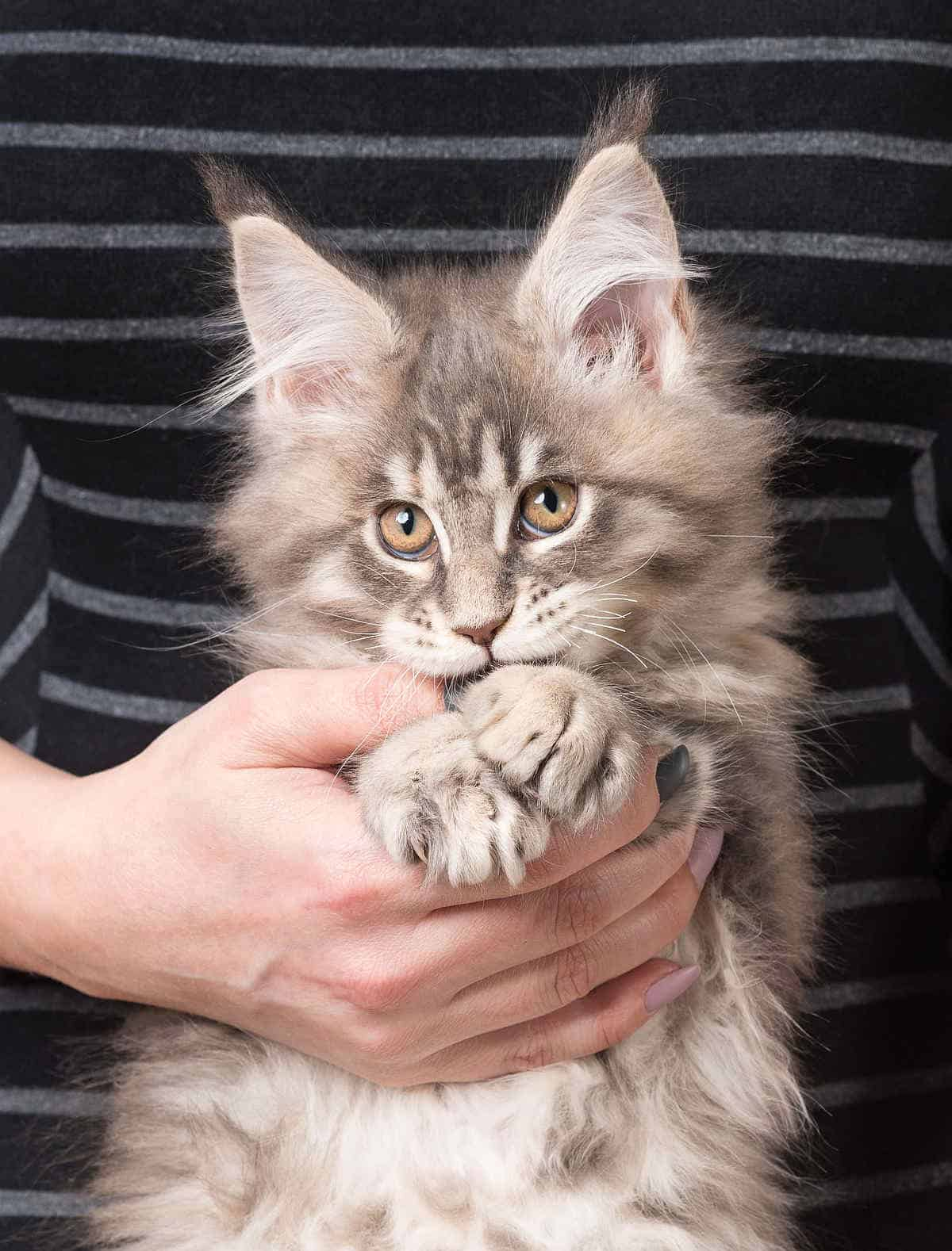 Maine Coon being held