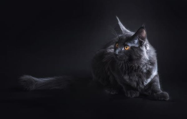 A black Maine Coon with orange eyes.