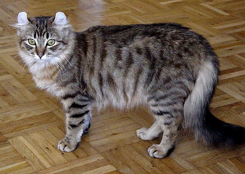 Can Maine Coons Be Small? American Curl