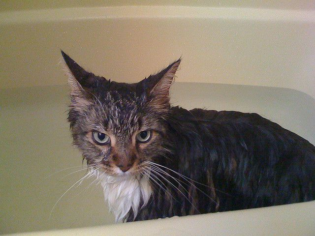 Do Maine Coons Need To Be Groomed?