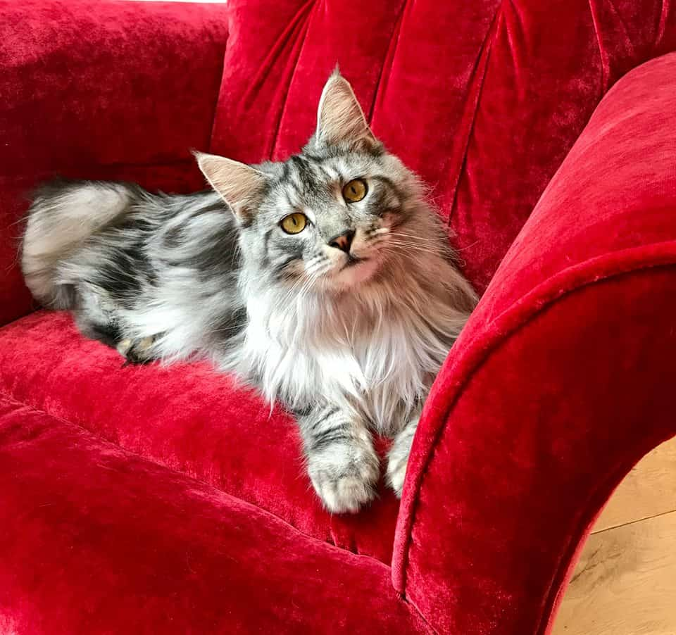 How many kittens can a Maine Coon have? Cat on red chair