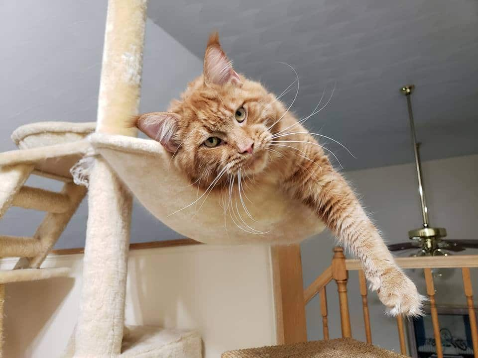 When will My Maine Coon die? Cat in cat tree