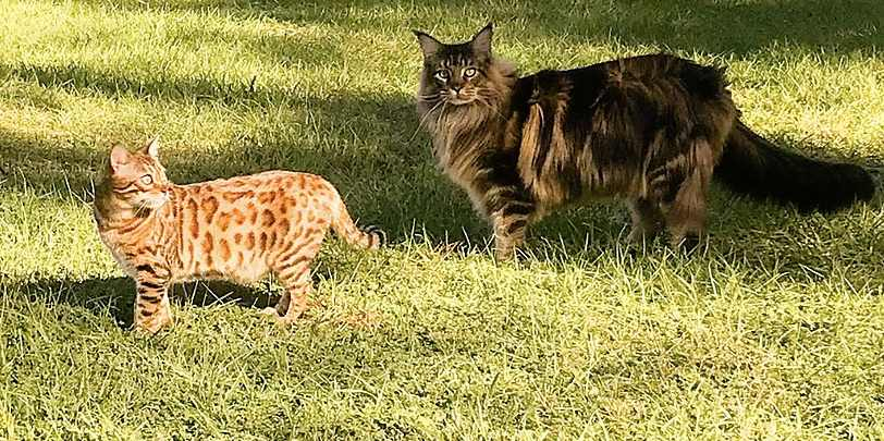 Can Maine Coons Be Small? Maine Coon and Bengal cats
