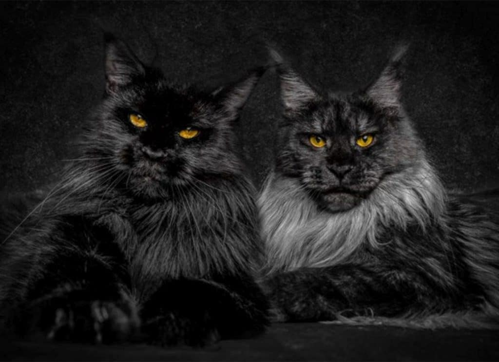 A Black Maine Coon and a black smoke Maine Coon.