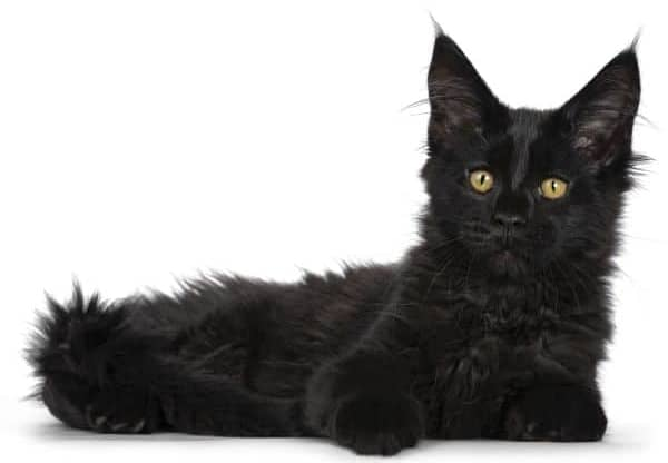 Where to Find Free Maine Coon Kittens: black kitten