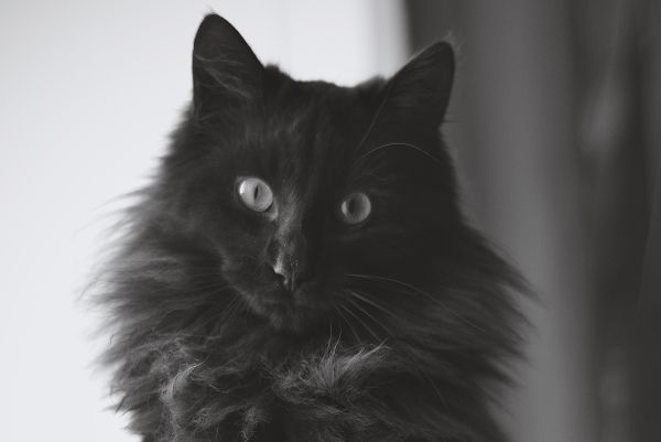 A black Maine Coon with pale eyes.