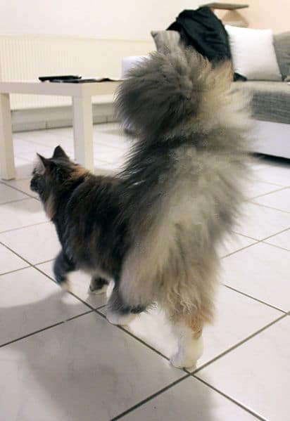 Maine Coon guide: Fluffy cat tail