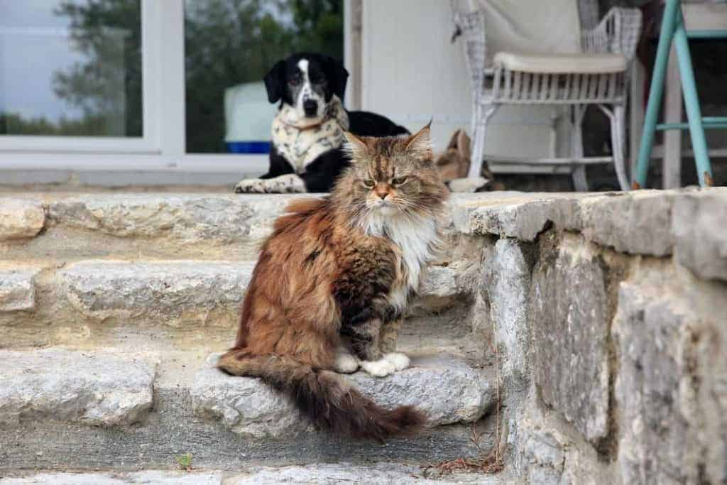 Are Maine Coons good with dogs? Maine Coon on step with dog