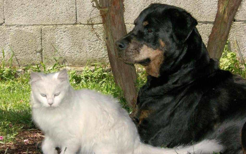 Are maine coons good with dogs? Cat an Rotweiler