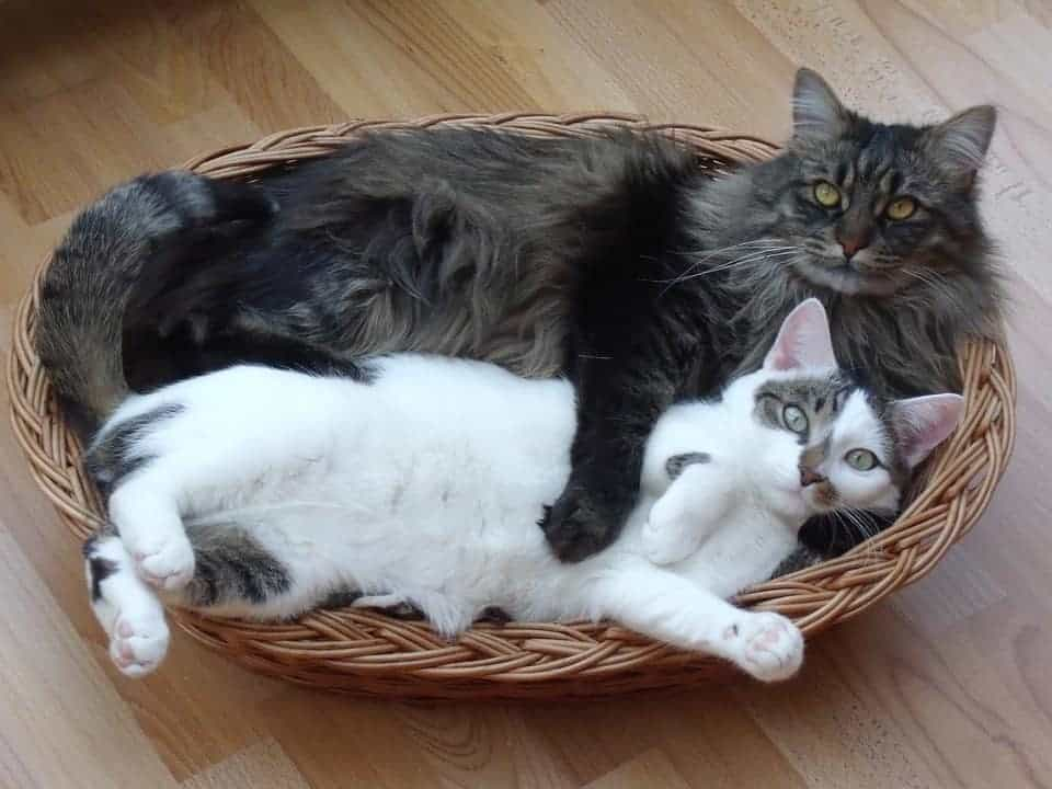 Can Maine Coons Be Small? Two cats in a basket