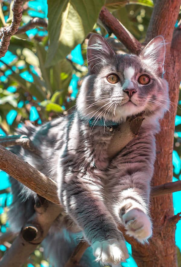 Do Maine Coons Like To Climb? Cat in tree