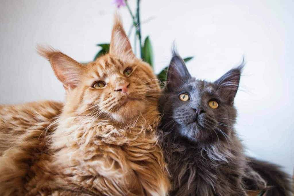 Can Maine Coon cats Live with Other Cats? Two cats in a basket. Two maine coons