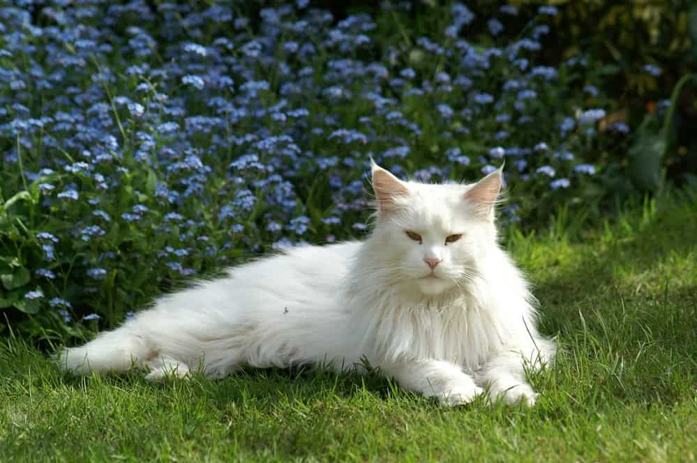A white Maine Coon on a lawn.