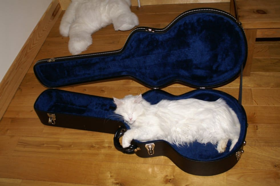 Do Maine Coon Cats Shed? Maine Coon in a guitar case