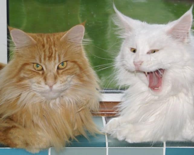 Why Do Maine Coons Talk So Much? Two maine coon cats