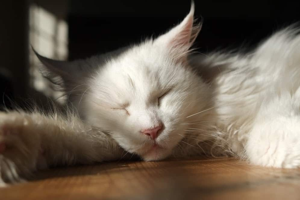 Why Do Maine Coons Sleep So Much? White Maine Coon asleep