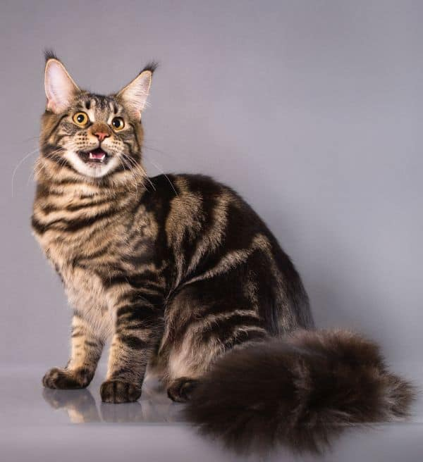 Why Do Maine Coons Cry?