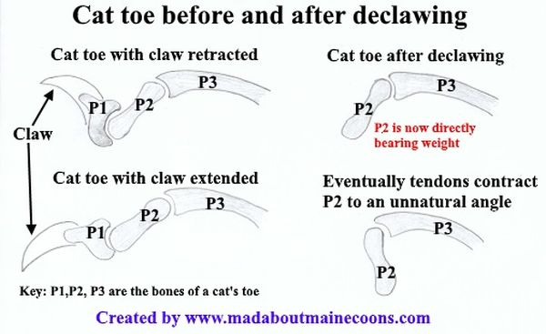 Can You Declaw A Maine Coon Cat?