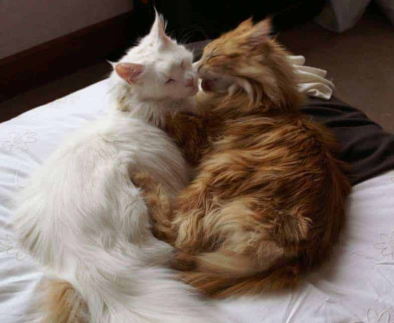 Can Maine Coon cats live with other cats. Two Maine Coons cuddling
