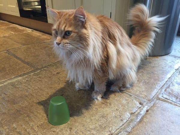 Are Maine Coons Intelligent?