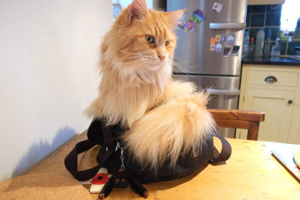 Do Maine Coons shed? Maine Coon in a handbag