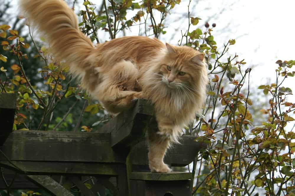 A classic orange Maine Coon tabby climbing on a pergola.
