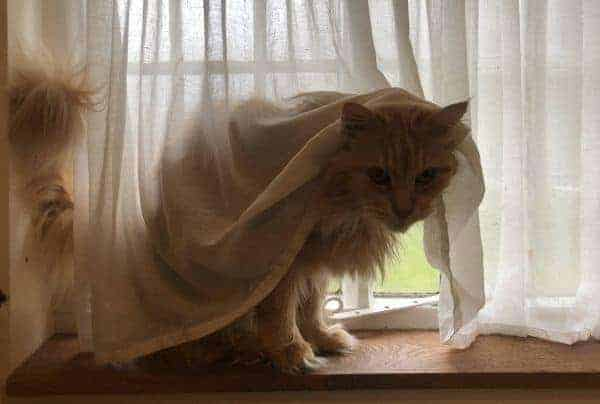 Are Maine Coon Cats Shy?