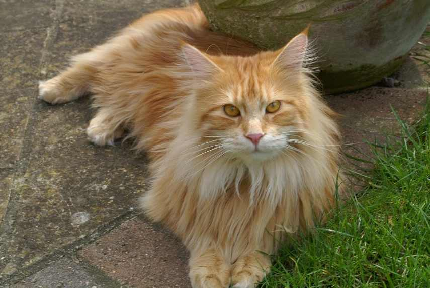 Maine Coon guide: Red classic tabby Maine Coon