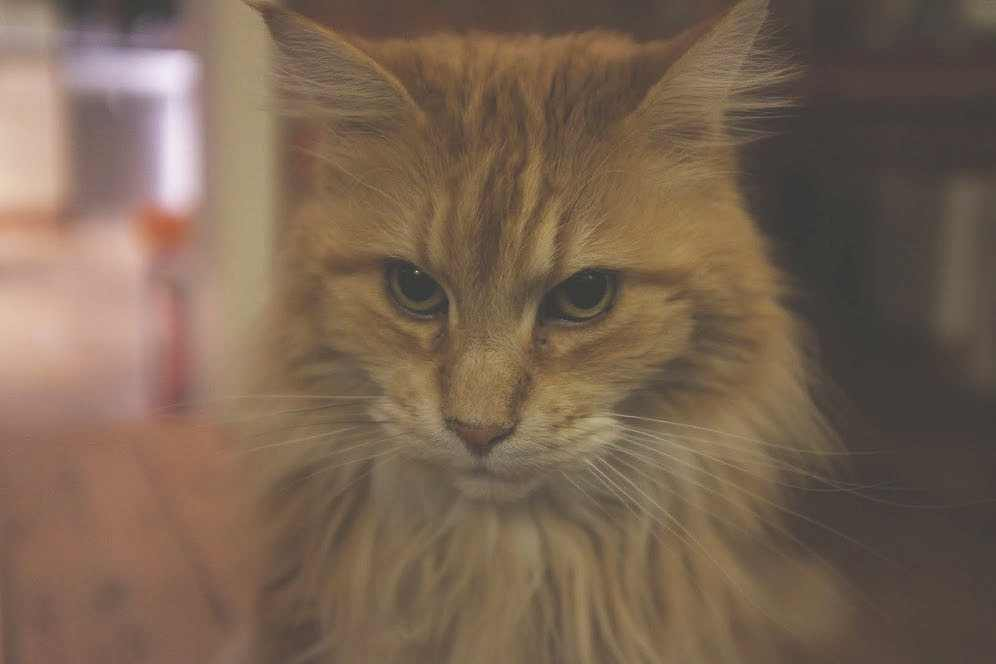 A red tabby cat with a guilty face.