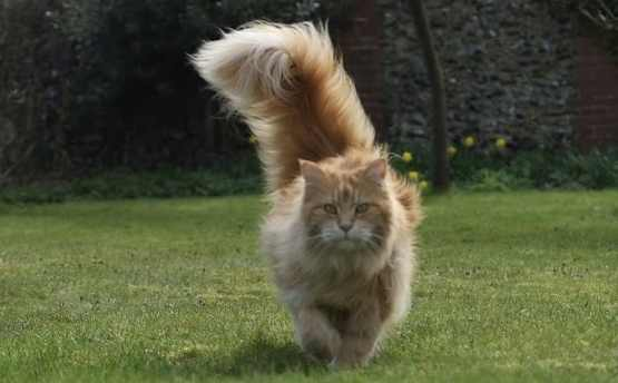 A red tabby Maine Coon with large fluffy tail like a sail.